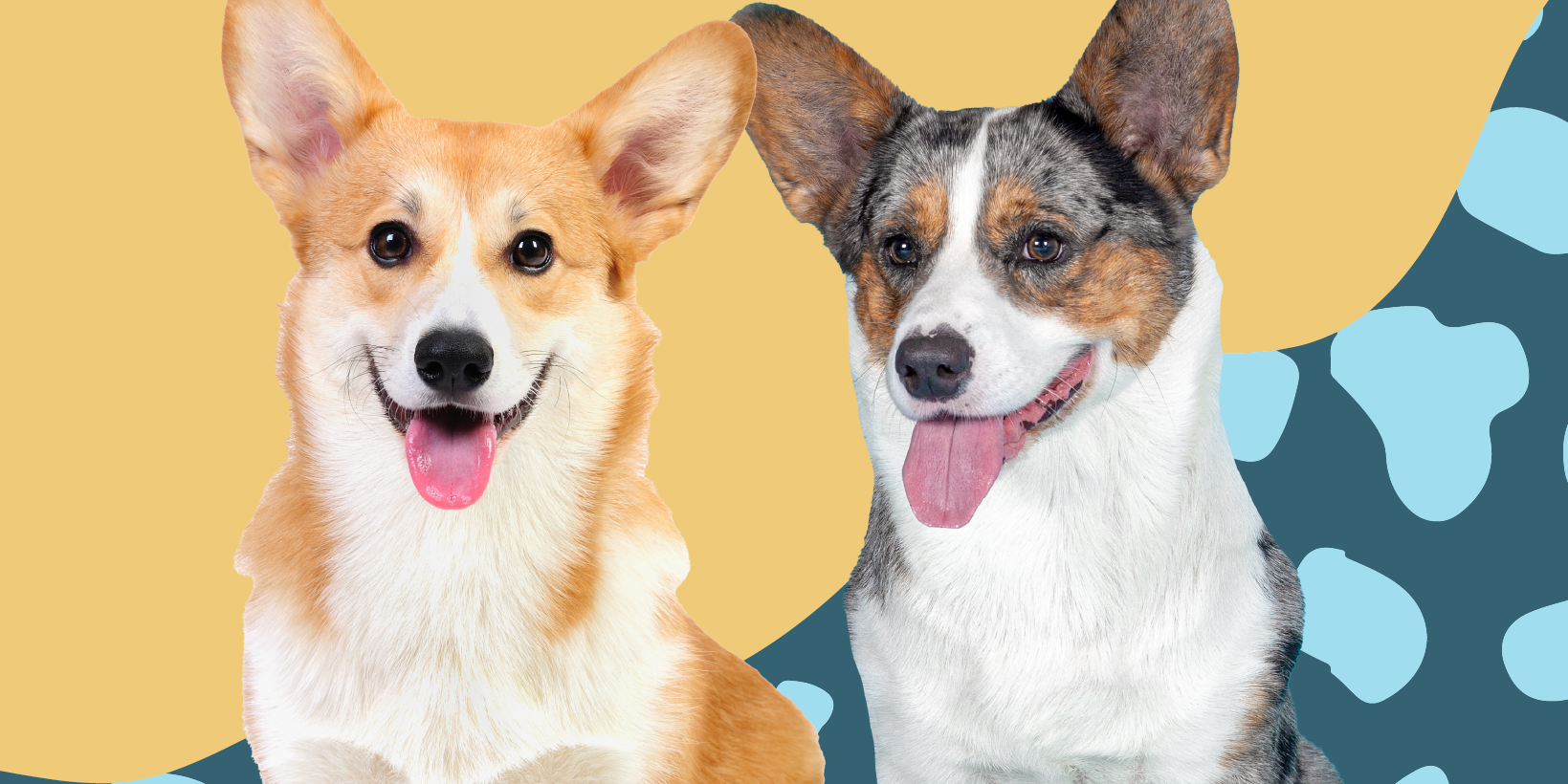 Do You Know the Difference Between Pembroke Welsh and Cardigan Welsh Corgis?