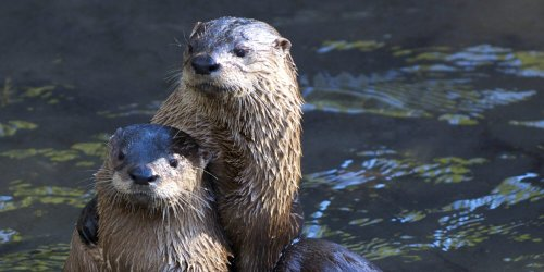 Attention Anglers: Florida Wildlife Clinic Looking for Help Feeding Orphaned Otters