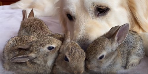Golden Retriever Cuddles With Adorable Baby Bunnies Just in Time for Easter