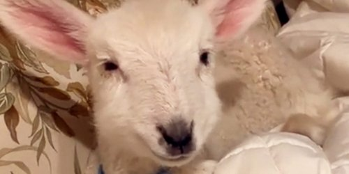 This Baby Lamb Seems to Think He's a Dog and Who Are We to Argue?