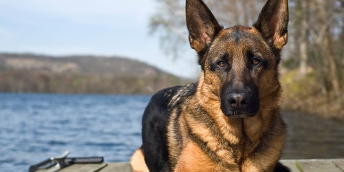 15 Hard-Working Native German Dog Breeds That Will Capture Your Heart