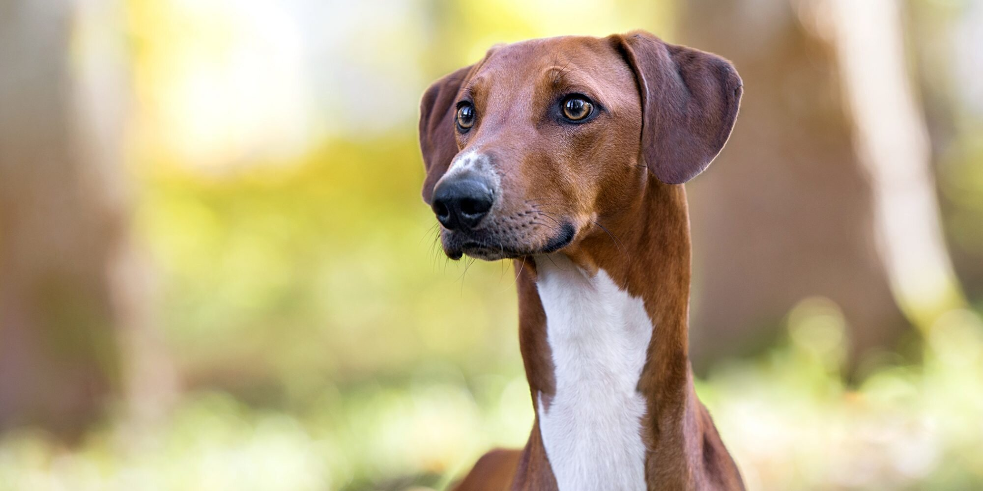 13 Remarkable African Dog Breeds You Don't See Everyday