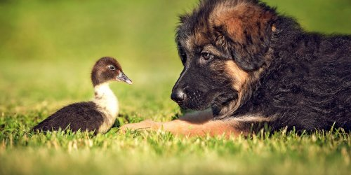 Baby Duckling Befriends German Shepherd Puppy in Adorable Video