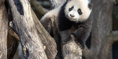 "The National Zoo's Panda Cub Is Learning to Climb Trees and Roll Down Hills: ""It's Pretty Cute"""