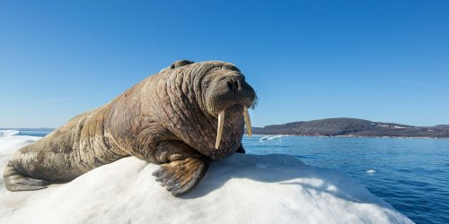 This Walrus Fell Asleep on an Iceberg and Woke Up in Ireland