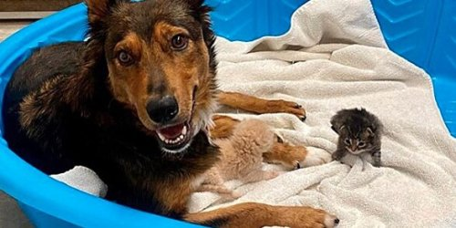 Shepherd Dog Who Lost Puppies Sweetly Dotes on New Kittens