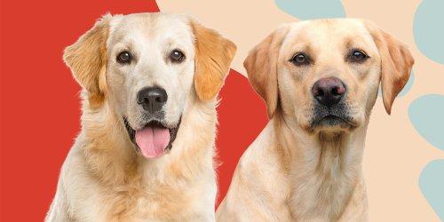 Golden Retriever vs. Labrador Retriever: Which One Would You Like Best?