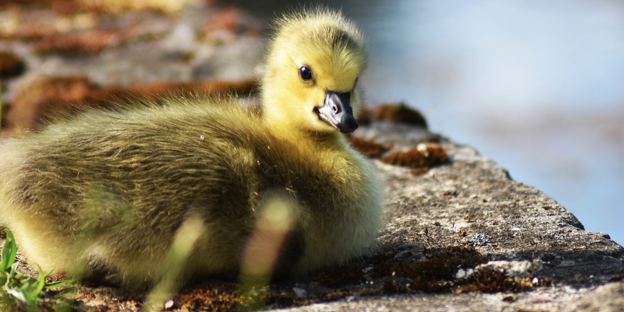 Adorable Viral Video Shows Dog Mom 'Adopting' a Baby Goose