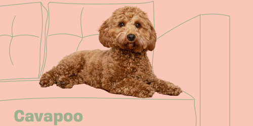 Get to Know the Cavapoo