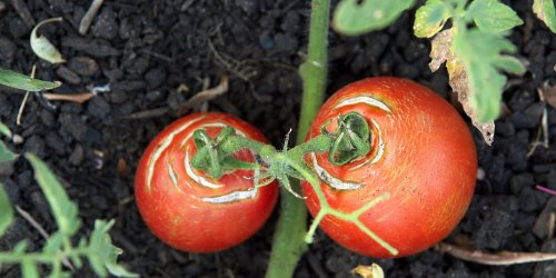 Why Do Tomatoes Crack as They Ripen?