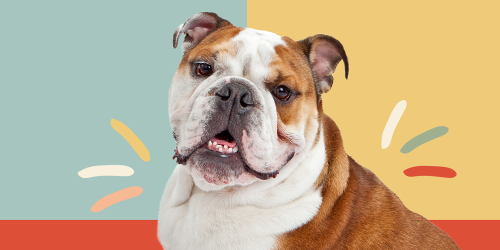 Bulldog (English Bulldog or British Bulldog)