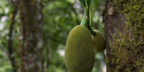 What Is Jackfruit? Info on Jackfruit Taste, Benefits and More