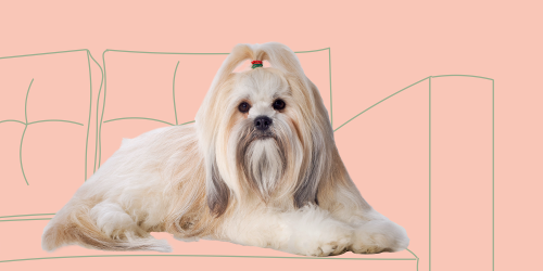 Learn All About the Lhasa Apso