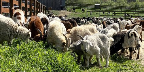 Hungry Firefighting Goats are Helping California Prepare for the 2021 Wildfire Season