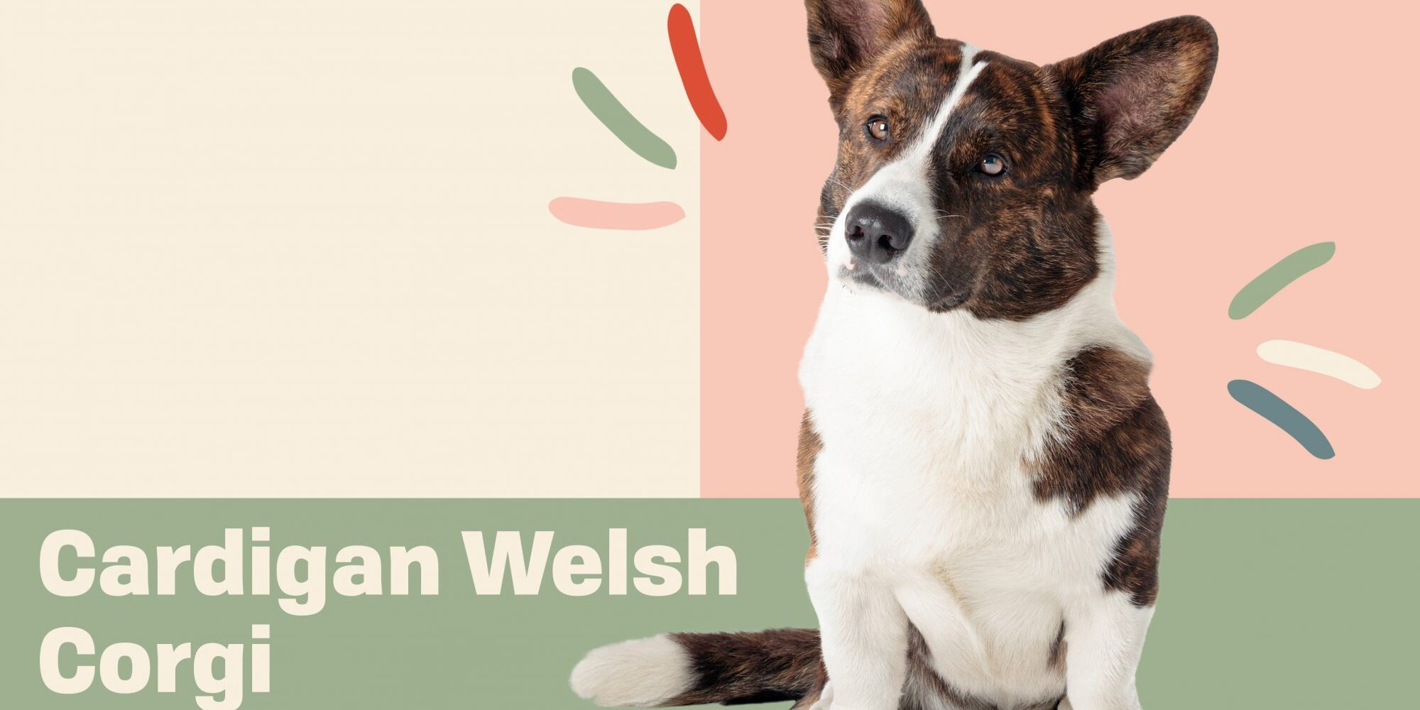 Get to Know the Cardigan Welsh Corgi