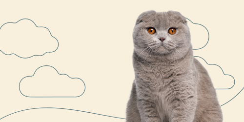 Scottish Fold (Highland Fold)