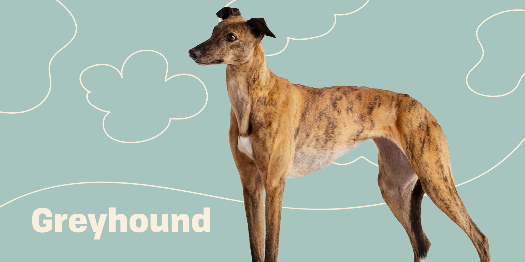 Why You Might Love a Greyhound