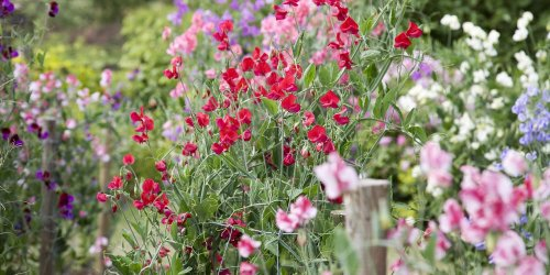 Your Guide to Planting Sweet Peas