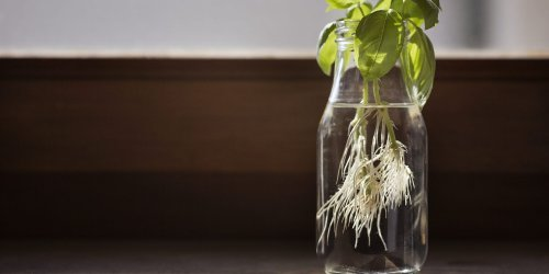 How to Propagate Your Favorite Herbs, Such as Rosemary, Mint, Basil, and More