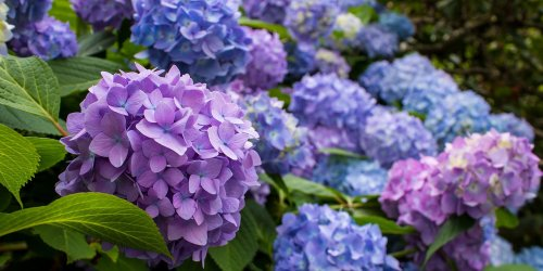 Six Ways to Get More Blooms from Your Hydrangeas