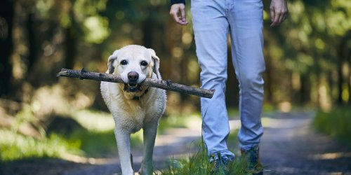 Why Do Dogs Like to Carry Sticks Home from Walks?