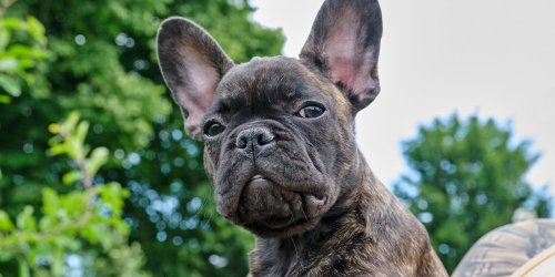 Stripey Dogs! The 8 Best Brindle Breeds