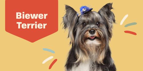 Meet the Biewer Terrier