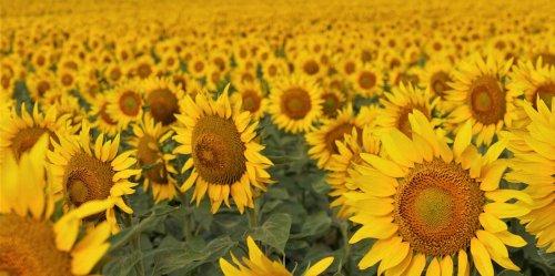 North Dakota's Sunflower Bloom Creates Fields of Gold