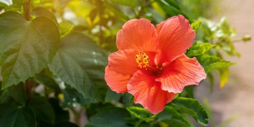 What You Need to Know About Growing and Caring for Hibiscus