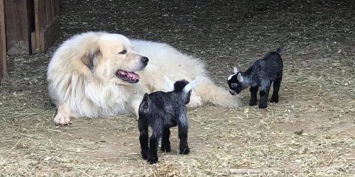 Watch As Great Pyrenees Pups Frolic with Baby Pygmy Goats