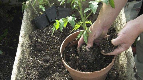 Diese drei Fehler sollten Sie beim Anbau von Tomaten im Topf vermeiden