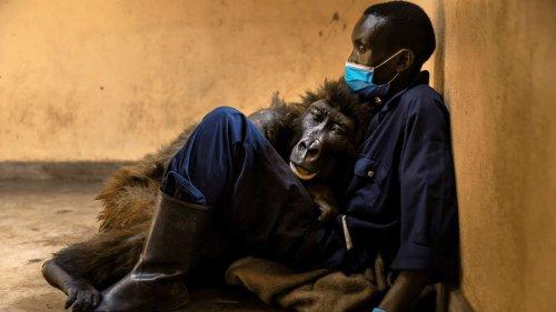 Trauer um Gorilla-WaiseNdakasi: In Armen ihres Pflegers gestorben