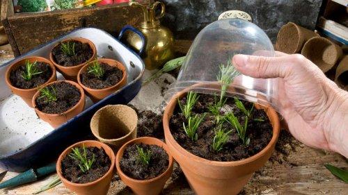 Überwinterung durch Stecklinge: Bei welchen Pflanzen es gut gelingt
