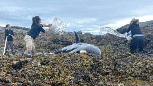 Gestrandeter Orca gerettet: Menschen überschütteten ihn stundenlang mit Wasser