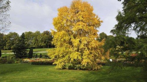 Lebkuchenbaum: Der Duft von Zimt und Karamell im eigenen Garten