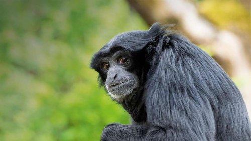 Tierpark Hellabrunn: Der singende Affe, der jeder Operndiva Konkurrenz macht