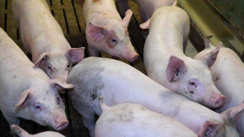 Berlin setzt sich für bessere Schweinehaltung ein - Erweiterung der Klage aus 2019