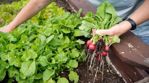 Jetzt noch Radieschen anbauen: Tipps für die späte Ernte im Herbst