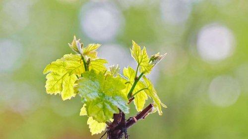 Wein pflanzen: So gelingt es Ihnen im Herbst am besten