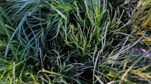 Kräuter als Salzersatz: Wie Sie Salzkraut im Garten selbst anbauen
