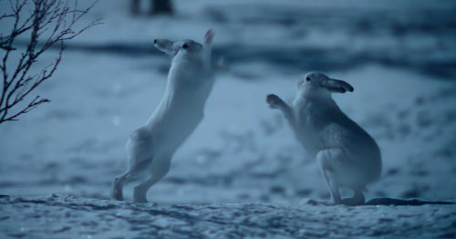 Rabbits fight it out like Hugh Grant and Colin Firth in Bridget Jones in new Apple series