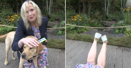 BBC Breakfast's Carol Kirkwood taken out by a guide dog and dragged to ground during weather report