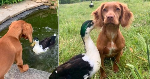 Dog and rescue duck are best friends – they share food, cuddle and even play fight