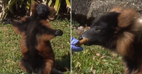 Lemur left forlorn after his mate died is happy now he has new 'girlfriend'