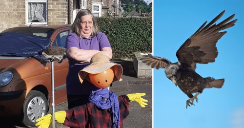 Aggressive crows nicknamed 'Ronnie and Reggie' terrorise street by damaging cars