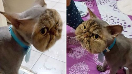 Cat goes to groomer for a trim – but returns looking like a goblin wearing a cat mask
