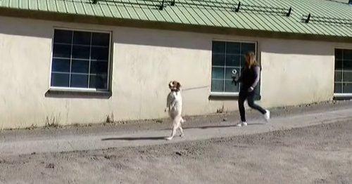 Meet Dexter – the social media star spaniel who walks on two legs like a human