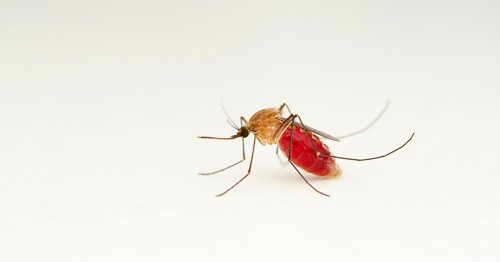 Malaria-carrying mosquitoes could be bred out of existence using 'gene drive' technology