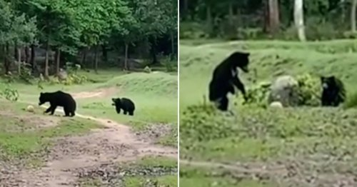 Mum and cub play with football swiped from locals before taking it into jungle
