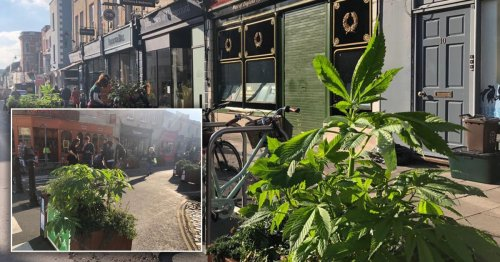 Huge 'cannabis plants' spotted growing along busy shopping street